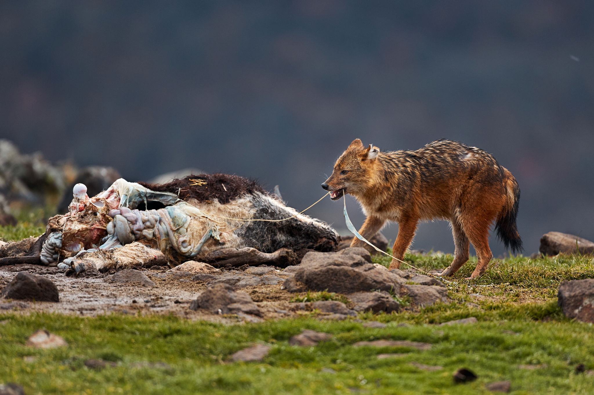 Šakalí hostina. Foto: Petr Salinger